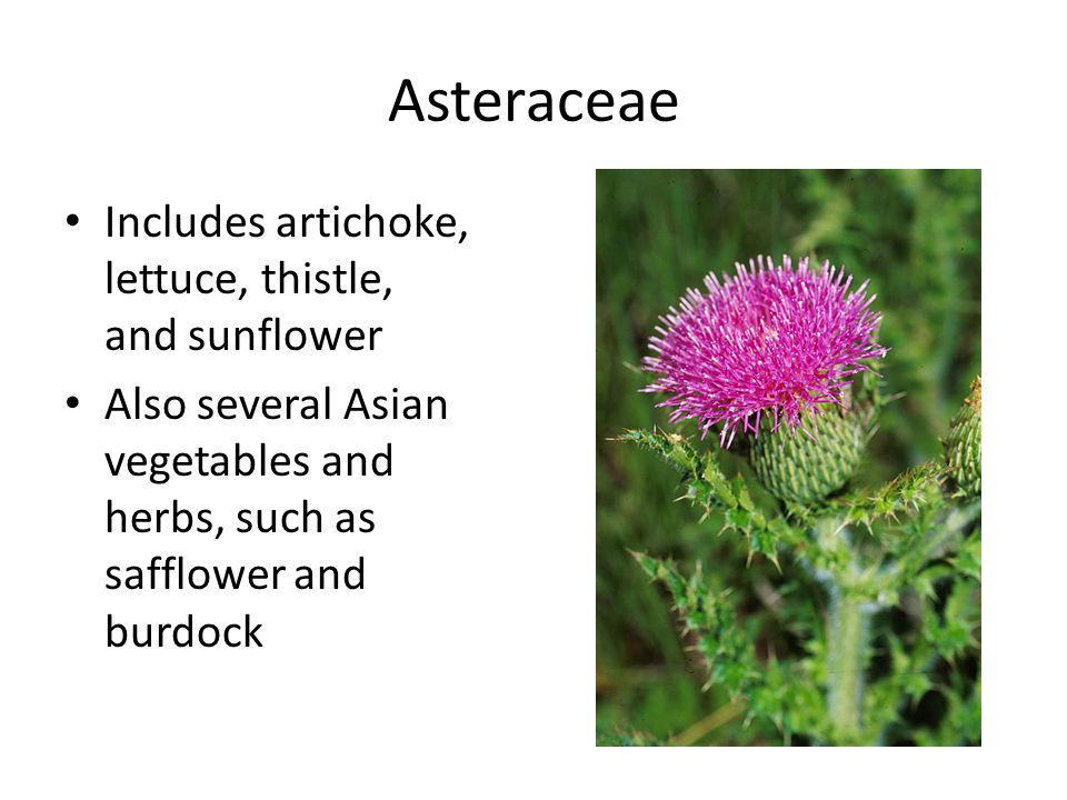 Asteraceae Includes artichoke, lettuce, thistle, and sunflower Also several Asian vegetables and herbs, such as safflower and burdock