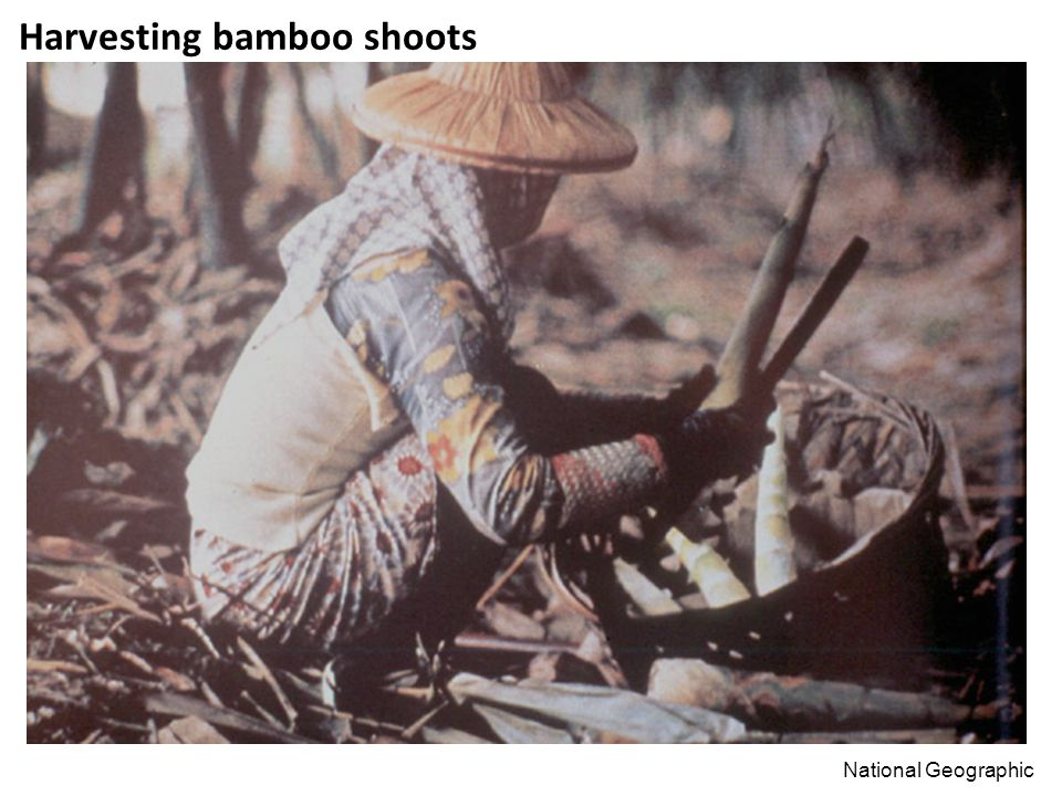 Harvesting bamboo shoots National Geographic