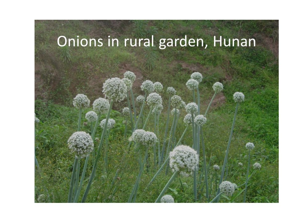 Onions in rural garden, Hunan