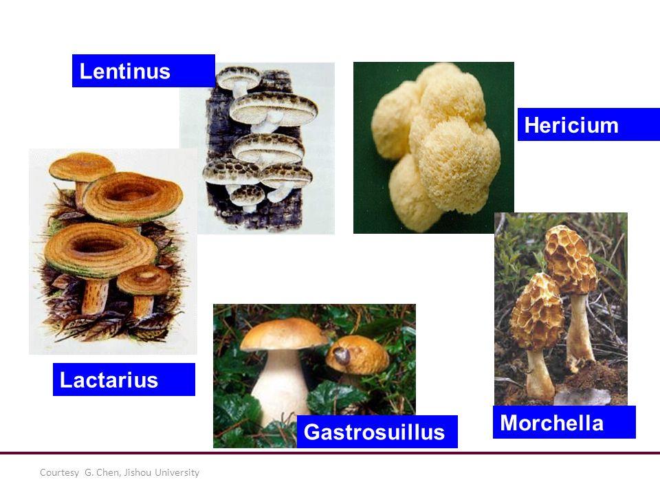 Courtesy G. Chen, Jishou University Lentinus Lactarius Hericium Morchella Gastrosuillus