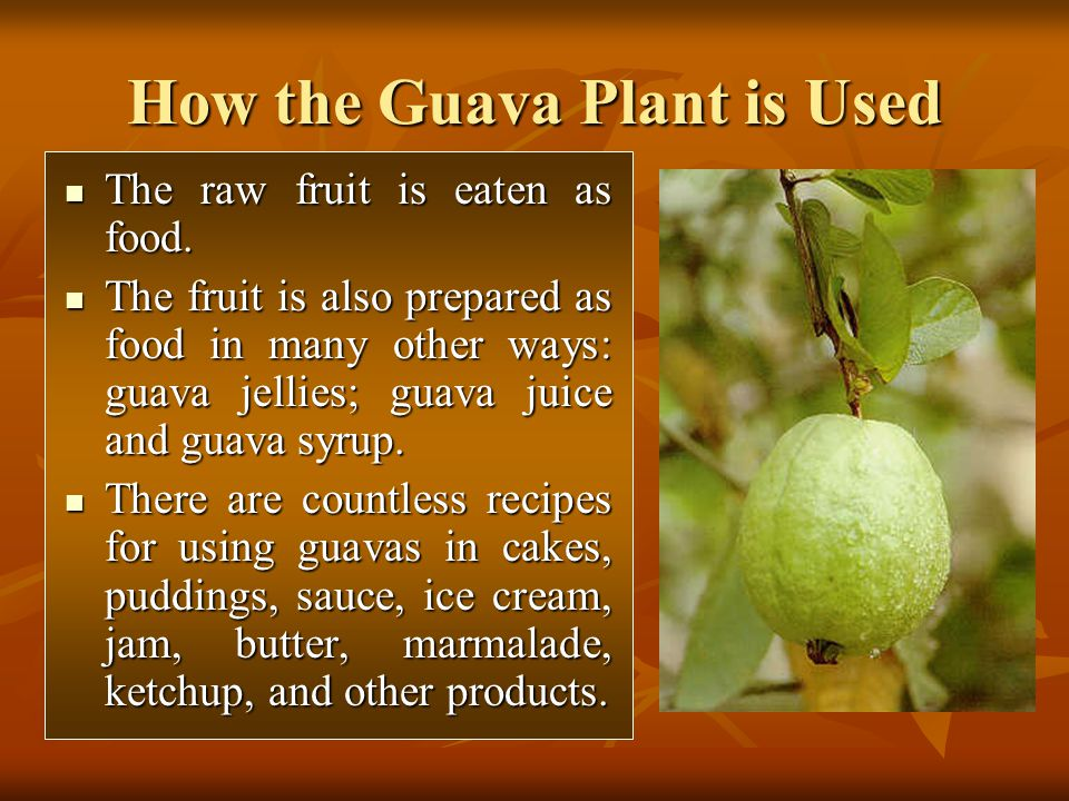 The raw fruit is eaten as food. The raw fruit is eaten as food. The fruit is also prepared as food in many other ways: guava jellies; guava juice and