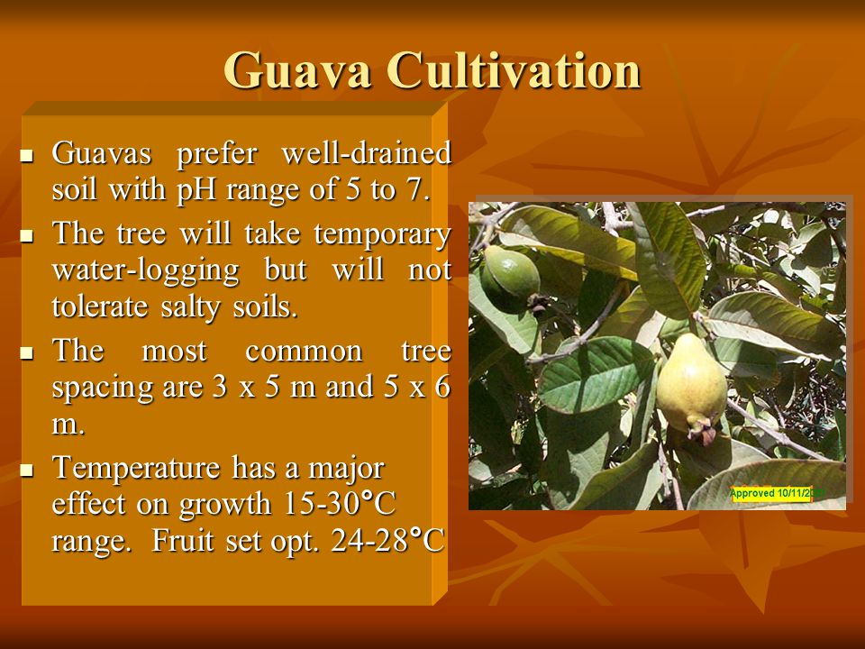 Guava Cultivation Guavas prefer well-drained soil with pH range of 5 to 7. Guavas prefer well-drained soil with pH range of 5 to 7. The tree will take