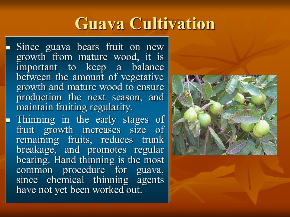 Guava Cultivation Since guava bears fruit on new growth from mature wood, it is important to keep a balance between the amount of vegetative growth an