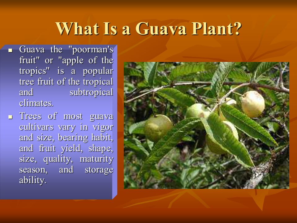 What Is a Guava Plant? Guava the