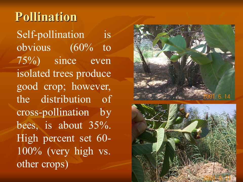 Pollination Self-pollination is obvious (60% to 75%) since even isolated trees produce good crop; however, the distribution of cross-pollination by be