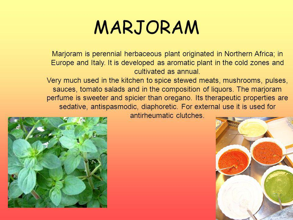 MARJORAM Marjoram is perennial herbaceous plant originated in Northern Africa; in Europe and Italy.