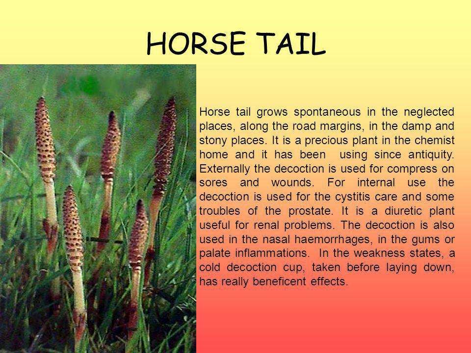 HORSE TAIL Horse tail grows spontaneous in the neglected places, along the road margins, in the damp and stony places.