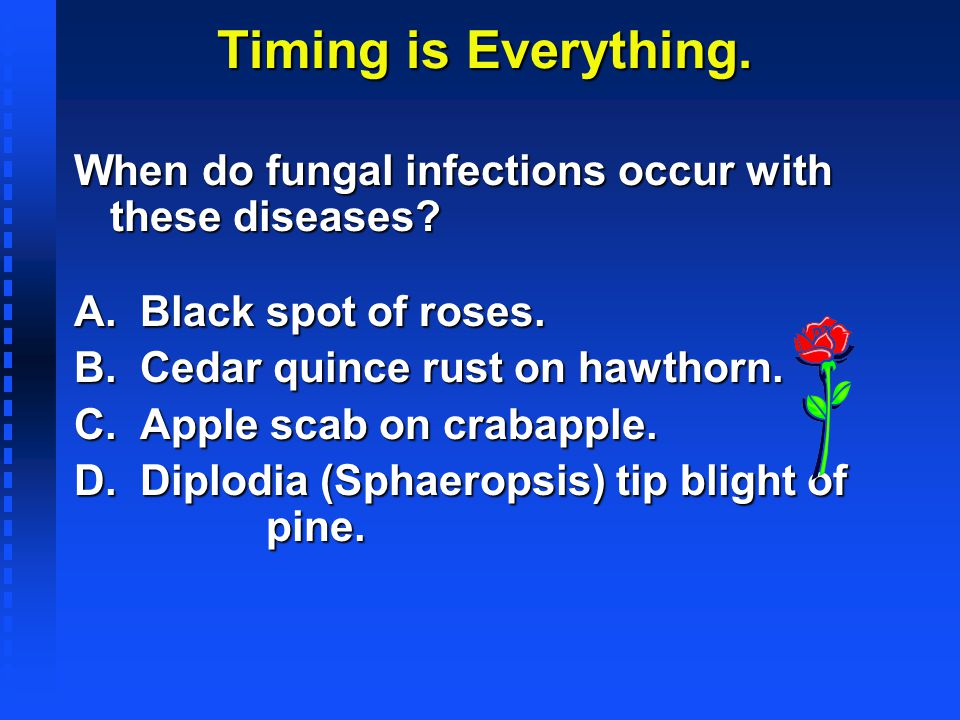 Timing is Everything. When do fungal infections occur with these diseases? A. Black spot of roses. B. Cedar quince rust on hawthorn. C. Apple scab on