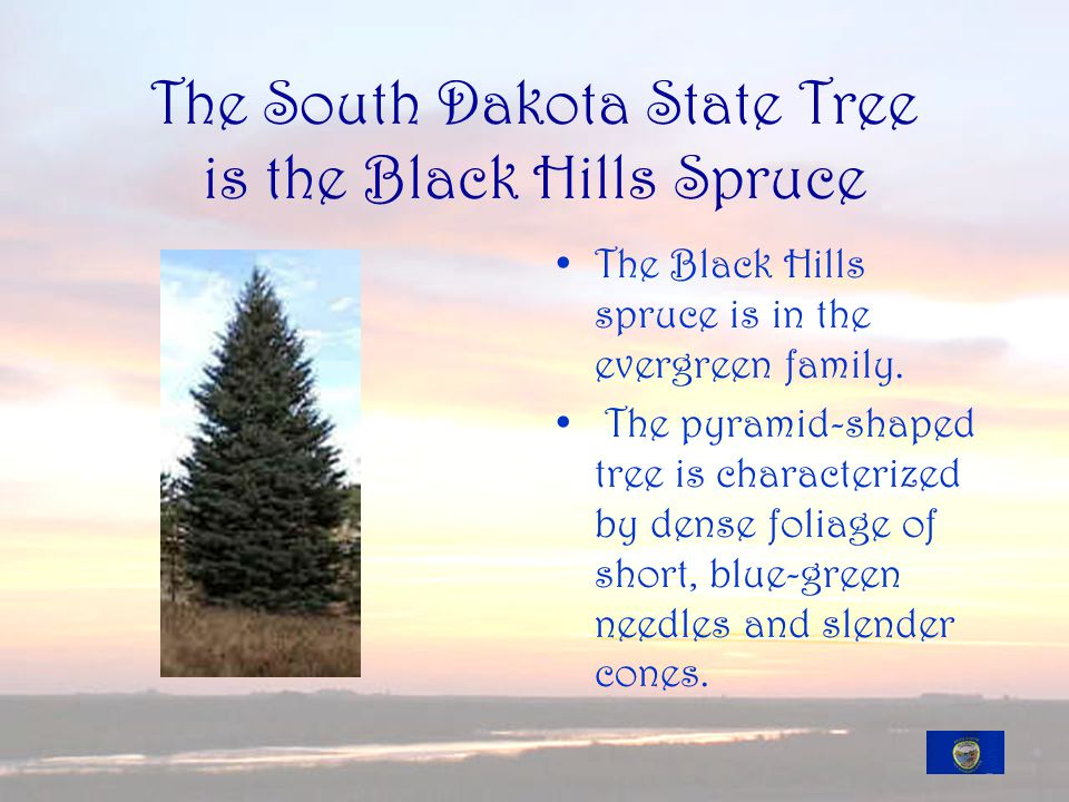The South Dakota State Tree is the Black Hills Spruce The Black Hills spruce is in the evergreen family.