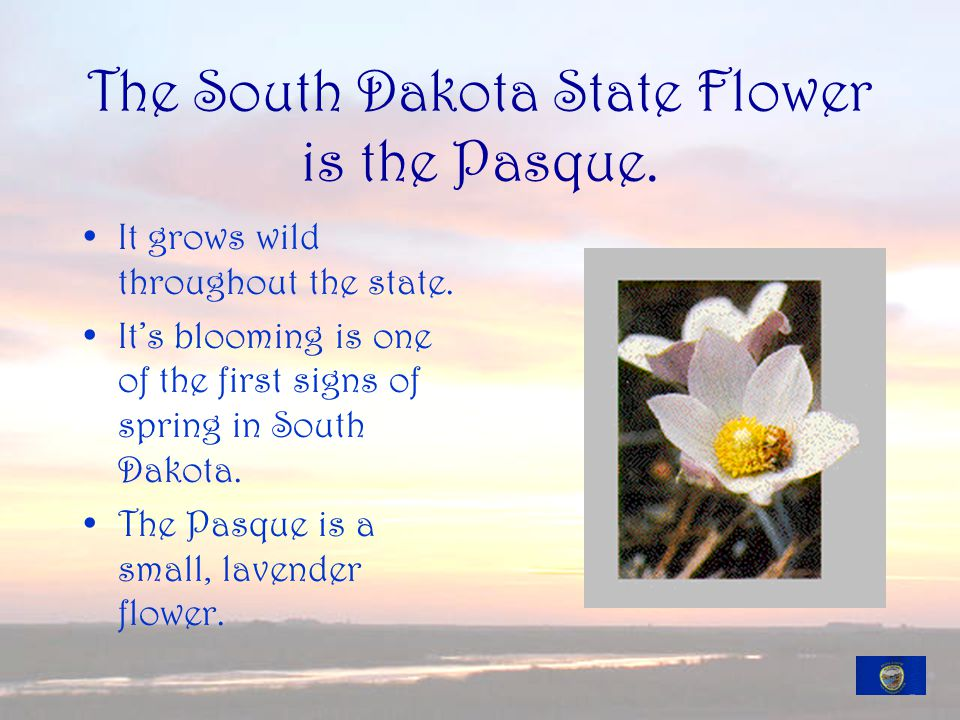 The South Dakota State Flower is the Pasque. It grows wild throughout the state.