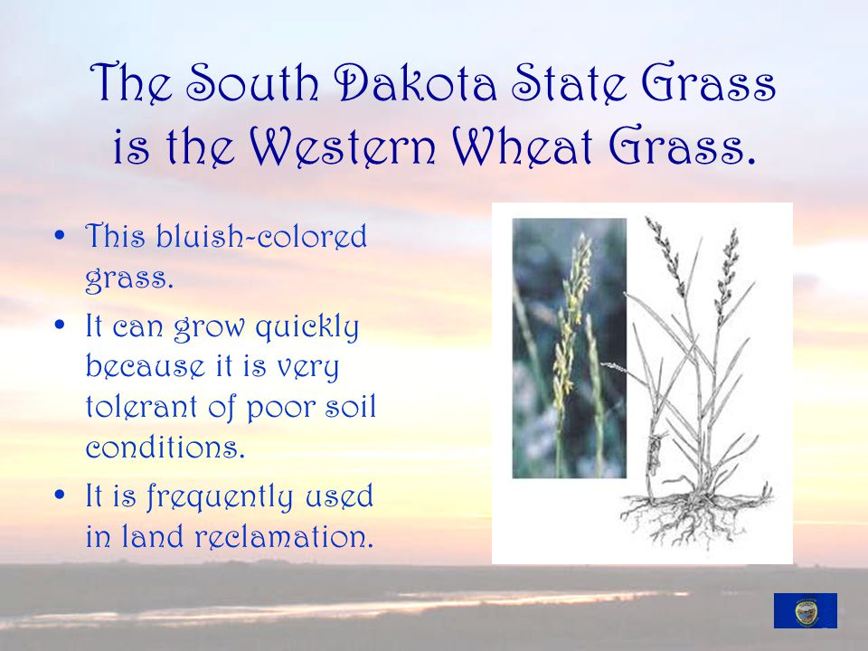 The South Dakota State Grass is the Western Wheat Grass.