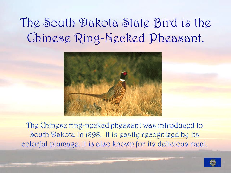 The South Dakota State Bird is the Chinese Ring-Necked Pheasant.