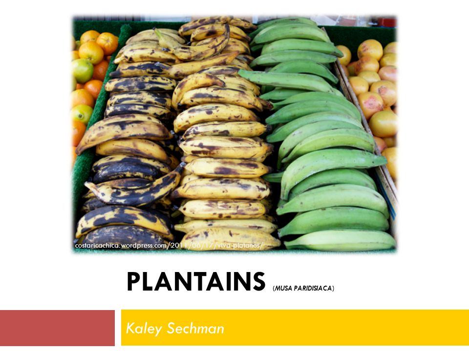 Plantain versus banana Eaten cooked, not raw Larger with thicker skin Flesh like a potato Green, yellow or black peels Fruit may be yellow of pinkish Cooked at any stage of ripeness Always sold individually I am NOT a banana.