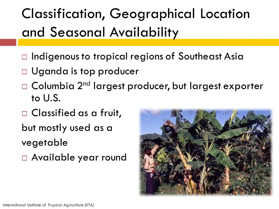Classification, Geographical Location and Seasonal Availability Indigenous to tropical regions of Southeast Asia Uganda is top producer Columbia 2 nd largest producer, but largest exporter to U.S.