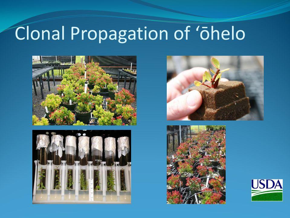 Clonal Propagation of ōhelo