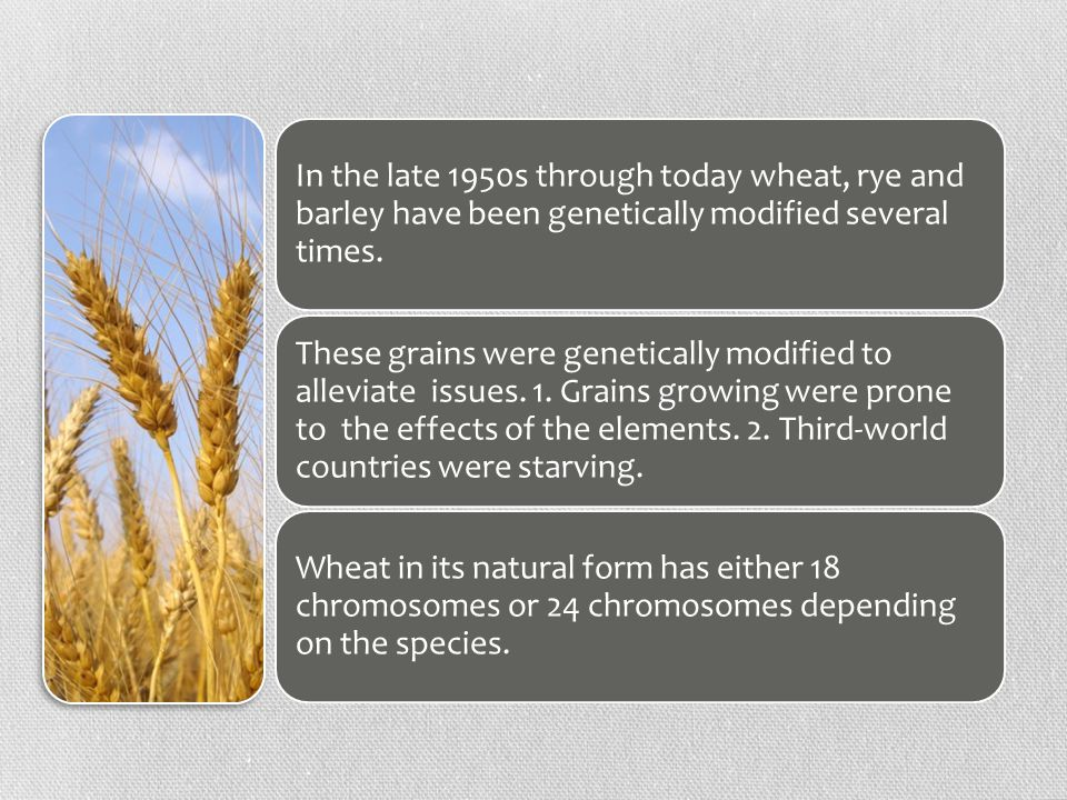 These grains were genetically modified to alleviate issues.