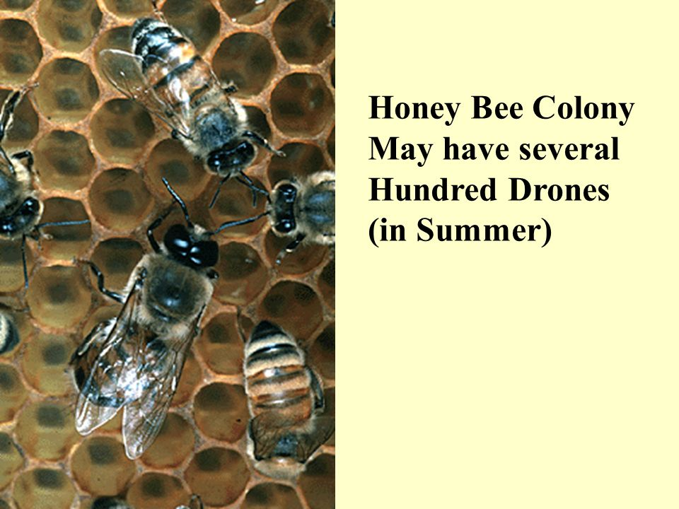 Honey Bee Colony May have several Hundred Drones (in Summer)