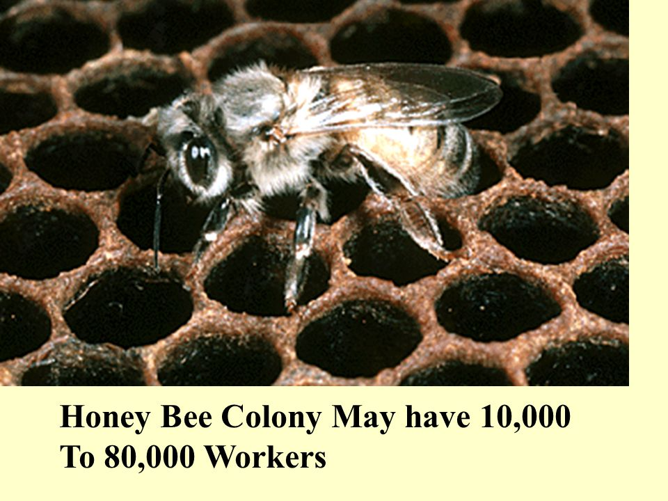 Honey Bee Colony May have 10,000 To 80,000 Workers
