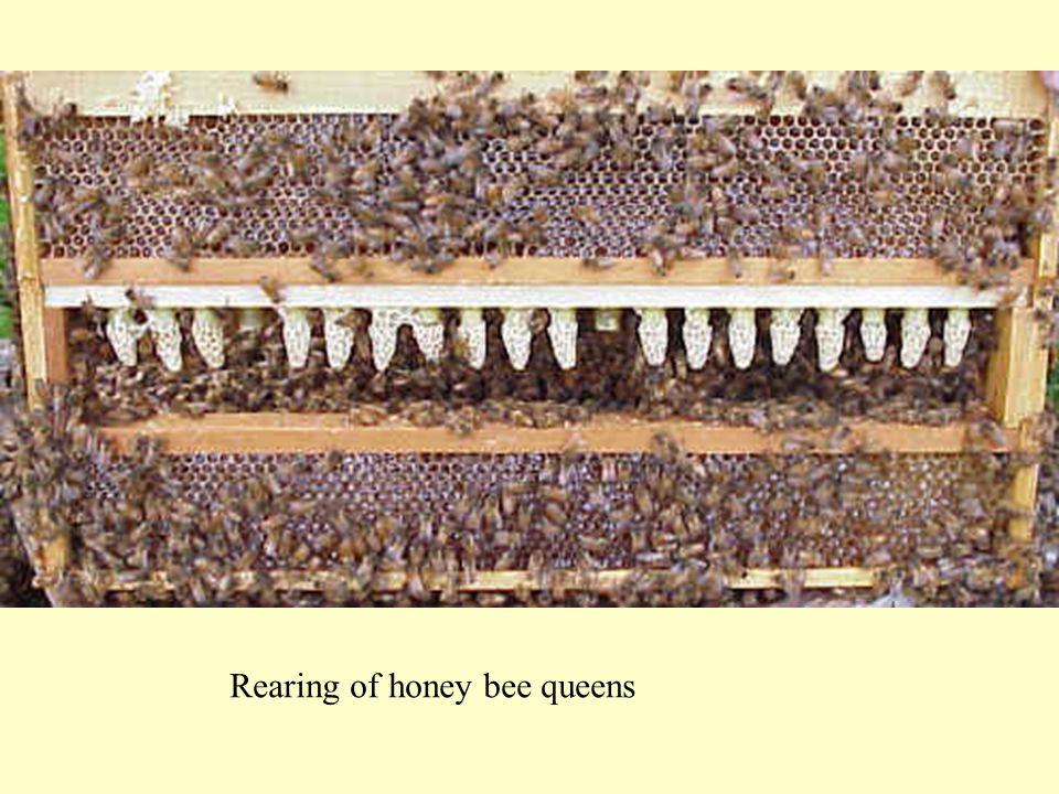 Rearing of honey bee queens