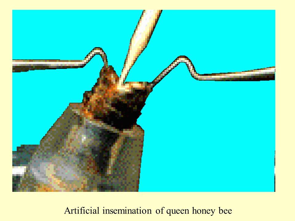 Artificial insemination of queen honey bee