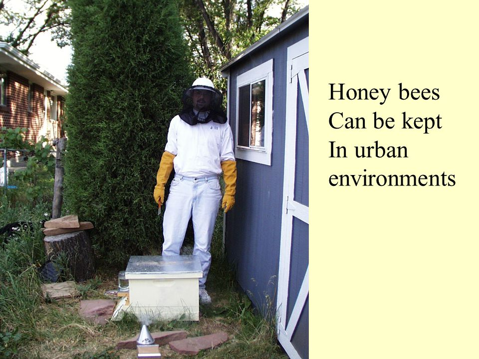 Honey bees Can be kept In urban environments