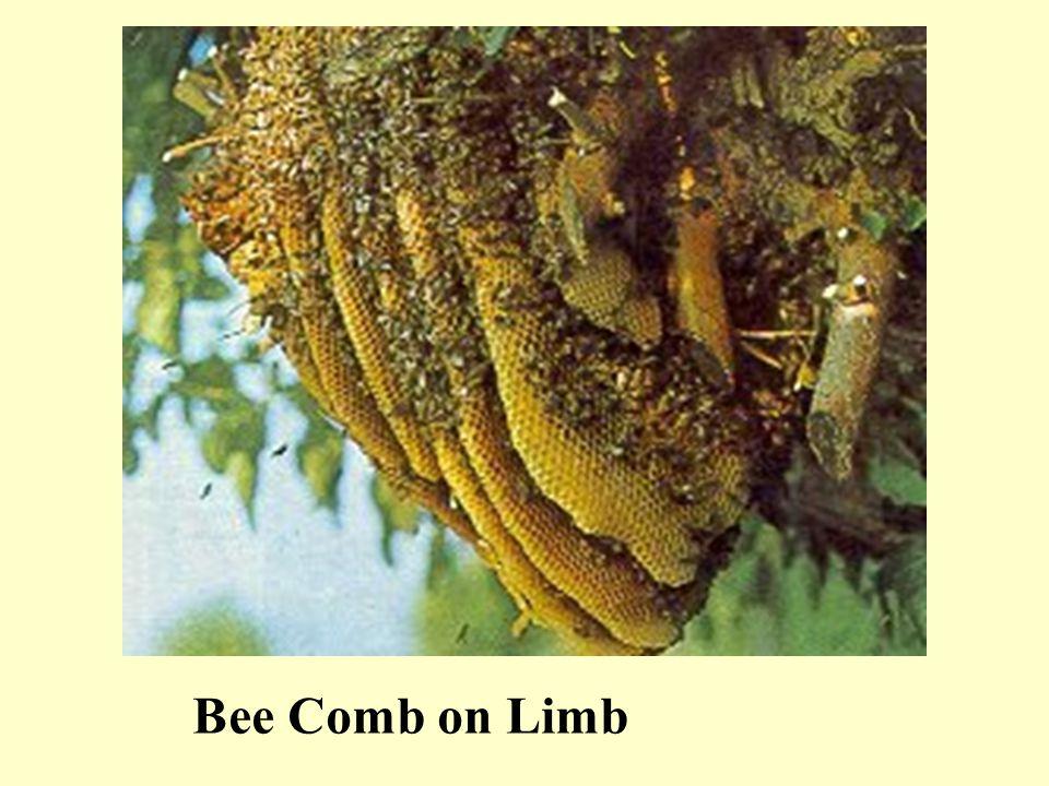 Bee Comb on Limb