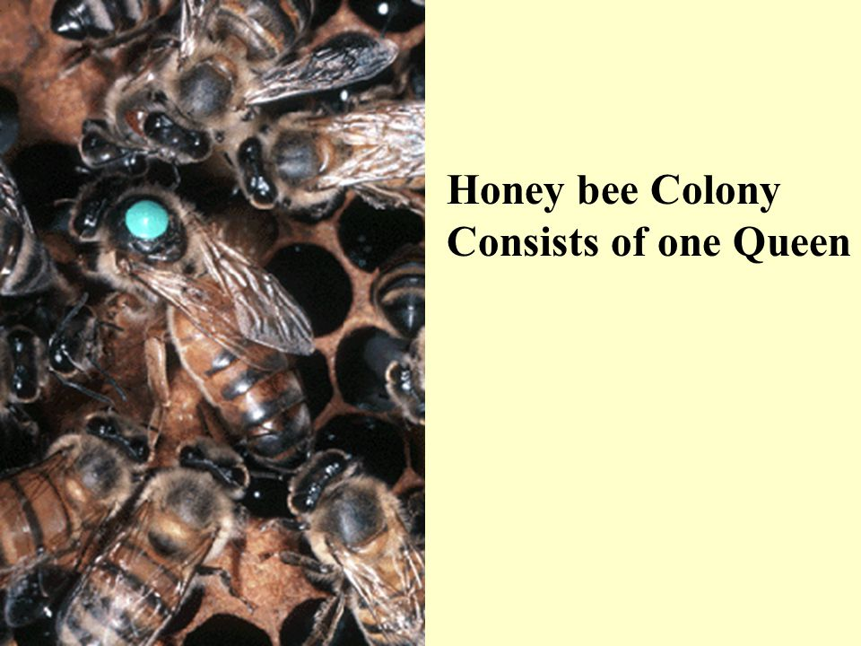 Honey bee Colony Consists of one Queen