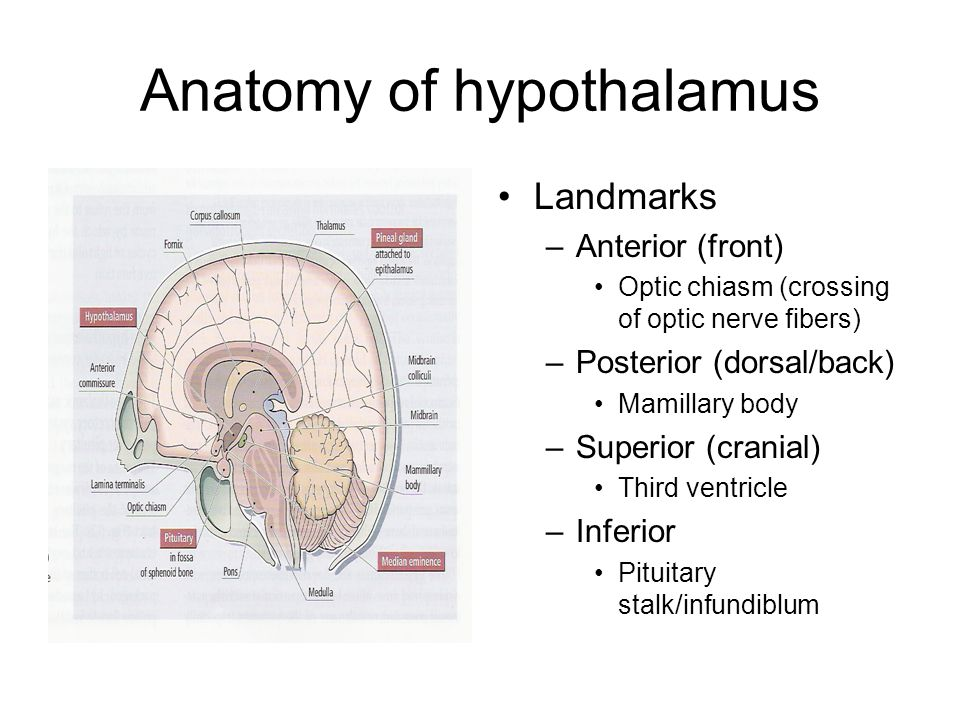 Anatomy of hypothalamus Landmarks –Anterior (front) Optic chiasm (crossing of optic nerve fibers) –Posterior (dorsal/back) Mamillary body –Superior (cranial) Third ventricle –Inferior Pituitary stalk/infundiblum