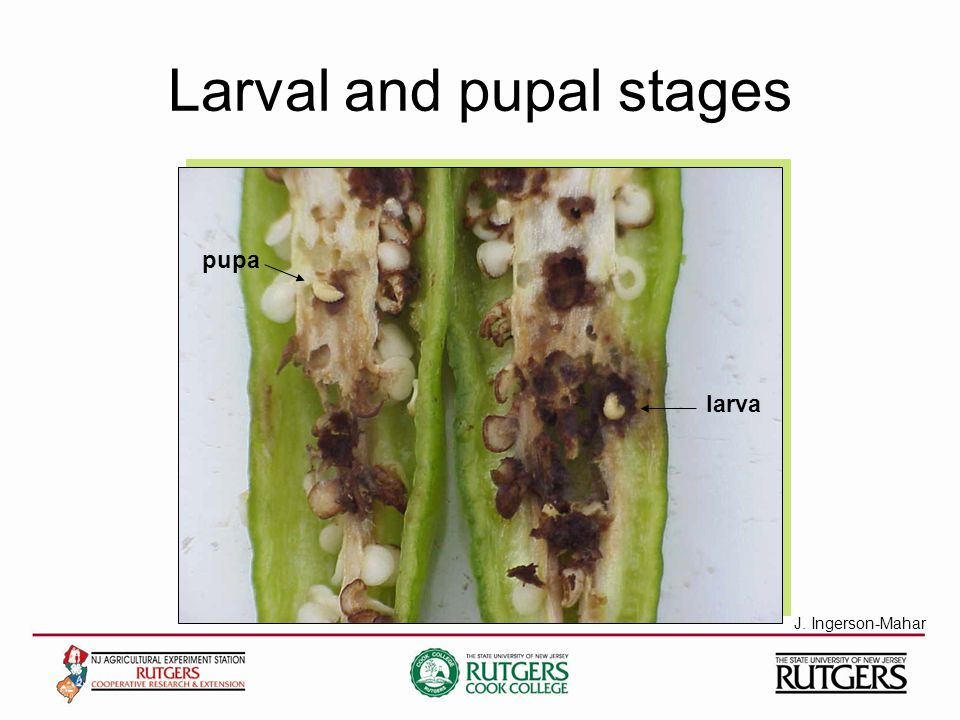 Larval and pupal stages larva pupa J. Ingerson-Mahar
