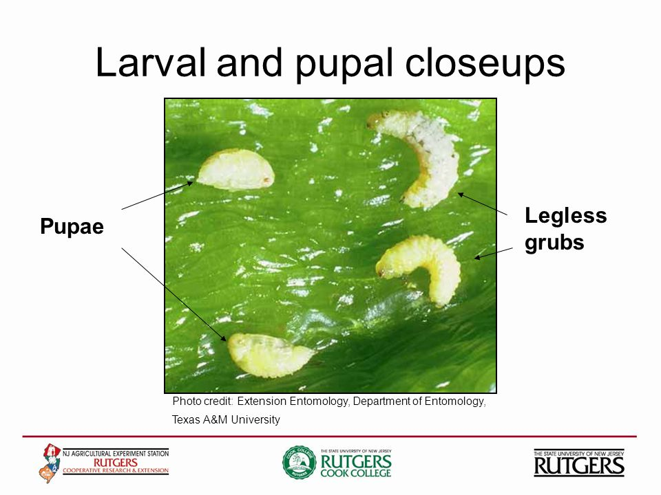 Larval and pupal closeups Legless grubs Pupae Photo credit: Extension Entomology, Department of Entomology, Texas A&M University