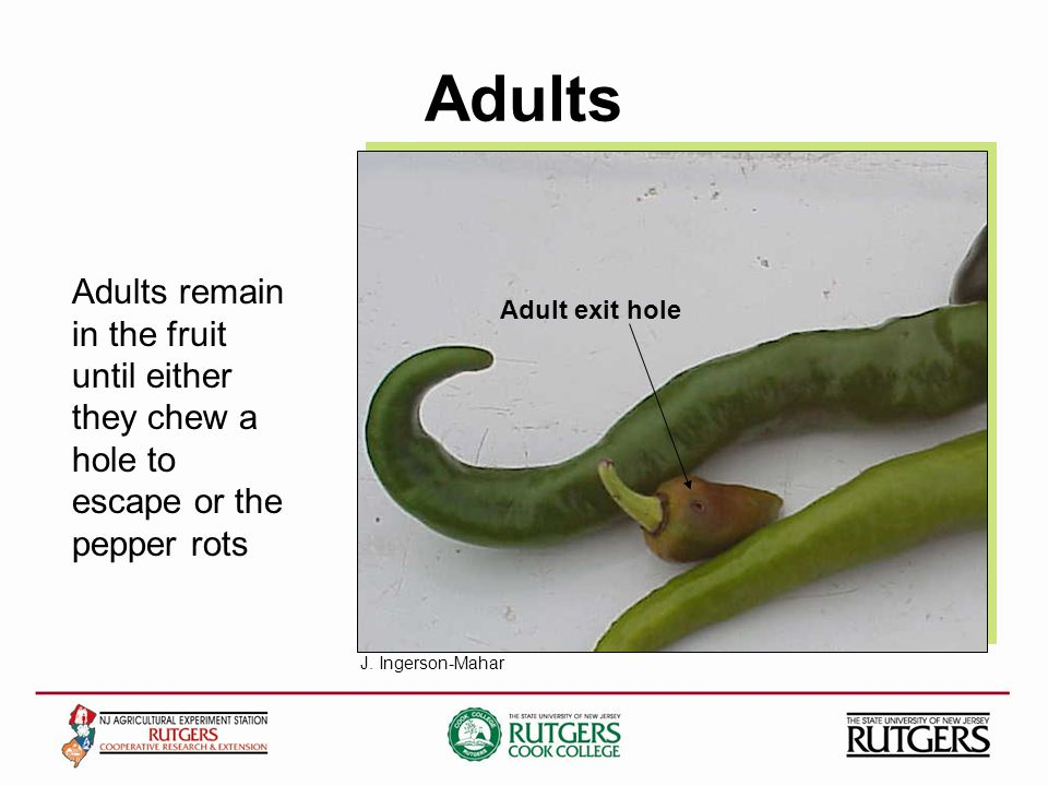 Adults Adult exit hole Adults remain in the fruit until either they chew a hole to escape or the pepper rots J.
