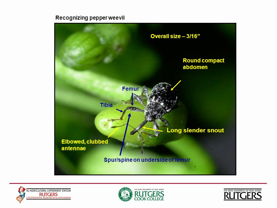 Recognizing pepper weevil Round compact abdomen Long slender snout Elbowed, clubbed antennae Femur Tibia Spur/spine on underside of femur Overall size – 3/16