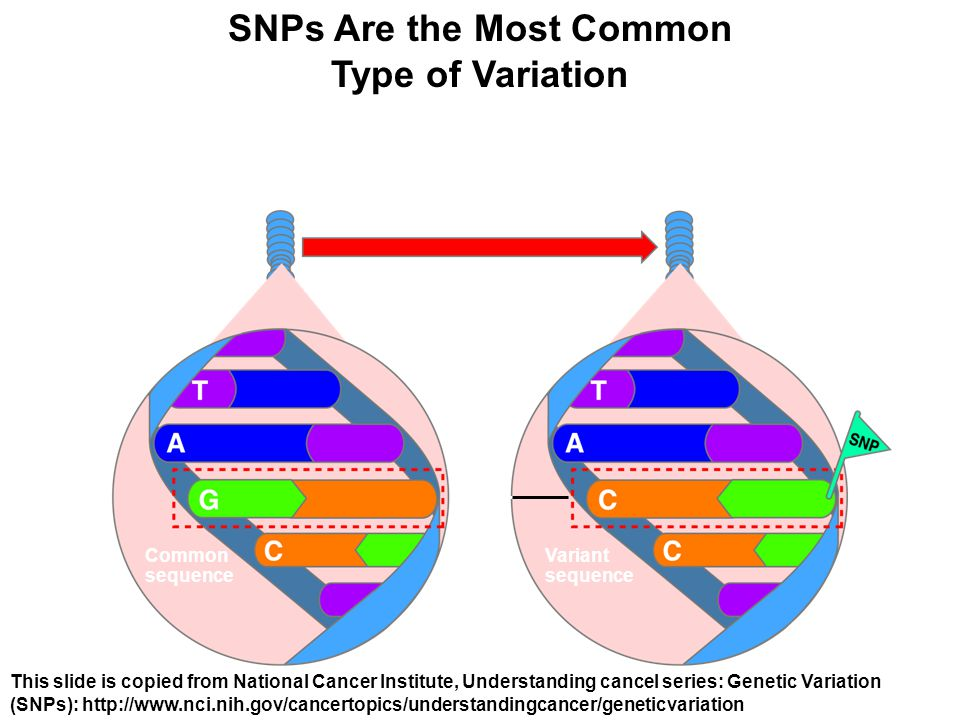 SNPs Are the Most Common Type of Variation At least 1 percent of the population Most of the population Common sequence G to C SNP site Variant sequence This slide is copied from National Cancer Institute, Understanding cancel series: Genetic Variation (SNPs): http://www.nci.nih.gov/cancertopics/understandingcancer/geneticvariation