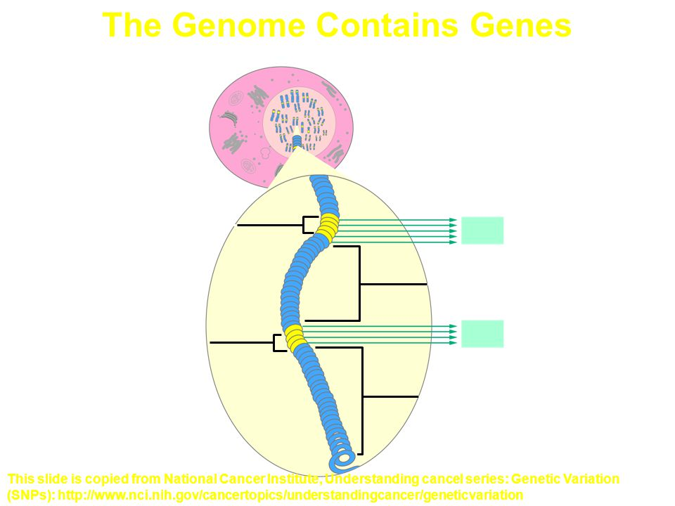 The Genome Contains Genes Gene 2 Coding region Protein 2 Protein 1 Noncoding region Gene 1 Coding region This slide is copied from National Cancer Institute, Understanding cancel series: Genetic Variation (SNPs): http://www.nci.nih.gov/cancertopics/understandingcancer/geneticvariation