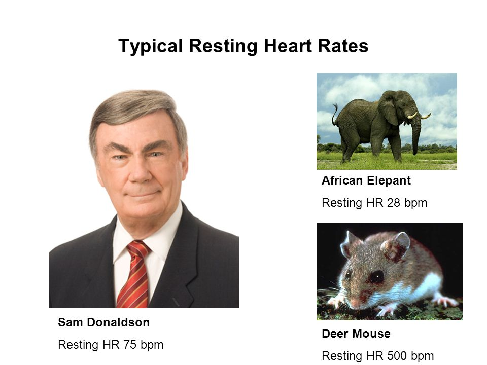 Typical Resting Heart Rates Sam Donaldson Resting HR 75 bpm African Elepant Resting HR 28 bpm Deer Mouse Resting HR 500 bpm