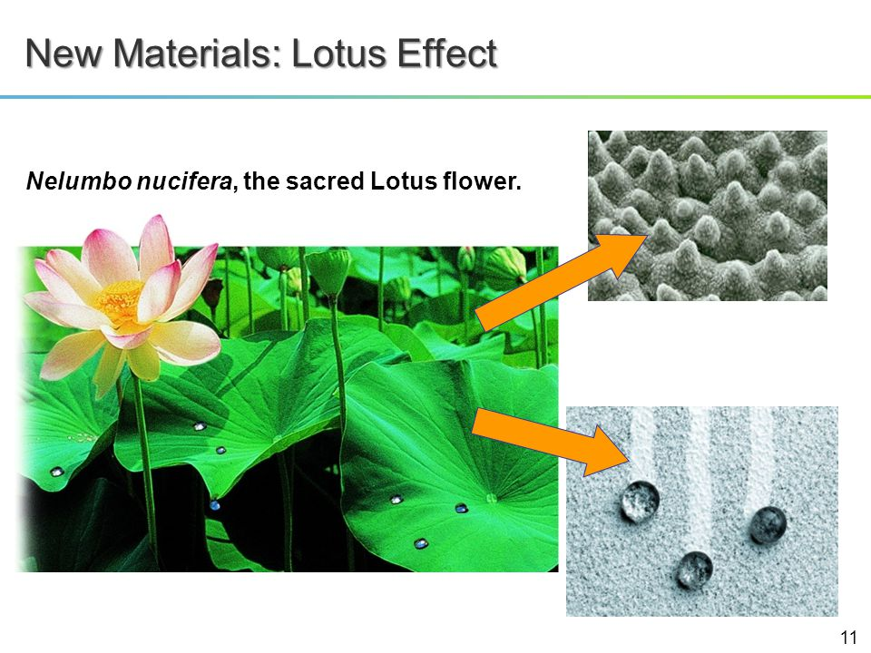 Nelumbo nucifera, the sacred Lotus flower. New Materials: Lotus Effect 11