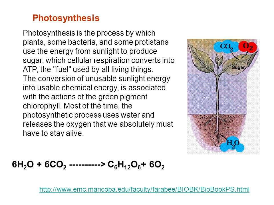 Photosynthesis is the process by which plants, some bacteria, and some protistans use the energy from sunlight to produce sugar, which cellular respiration converts into ATP, the fuel used by all living things.