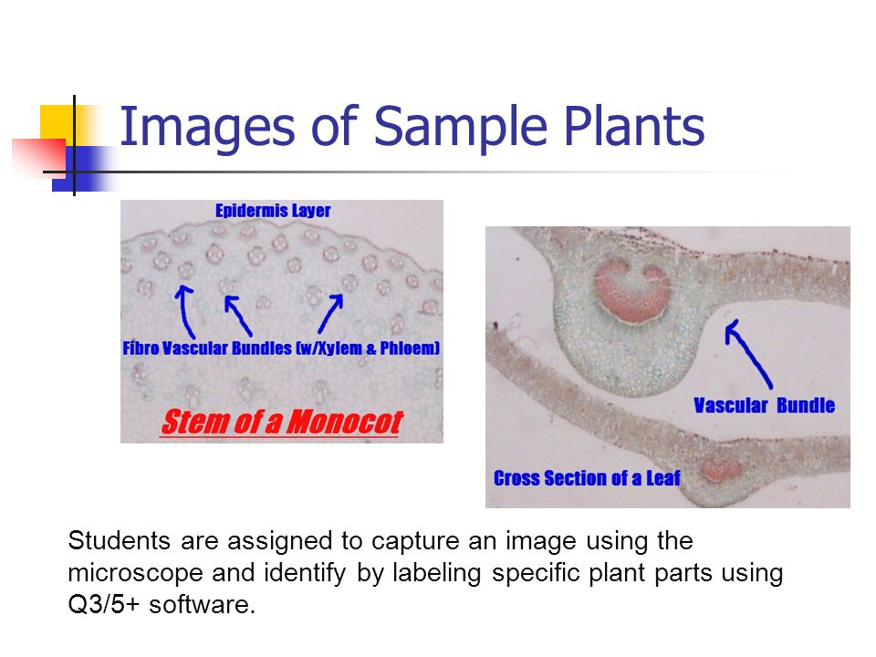 Images of Sample Plants Students are assigned to capture an image using the microscope and identify by labeling specific plant parts using Q3/5+ software.