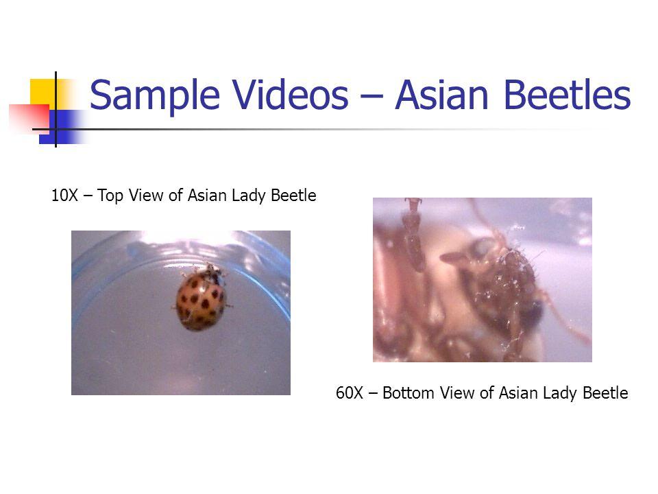 Sample Videos – Asian Beetles 10X – Top View of Asian Lady Beetle 60X – Bottom View of Asian Lady Beetle