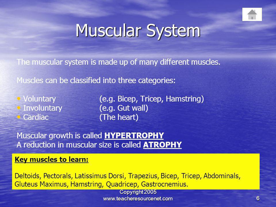 Copyright 2005 www.teacheresourcenet.com6 Muscular System The muscular system is made up of many different muscles. Muscles can be classified into thr