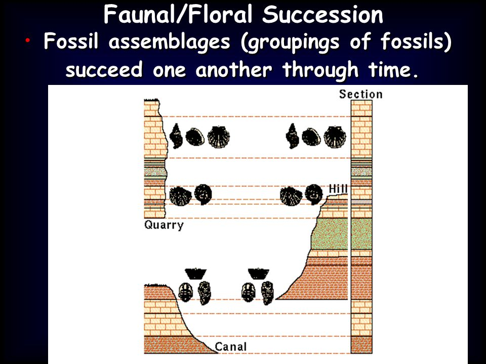 Faunal/Floral Succession Fossil assemblages (groupings of fossils) succeed one another through time.