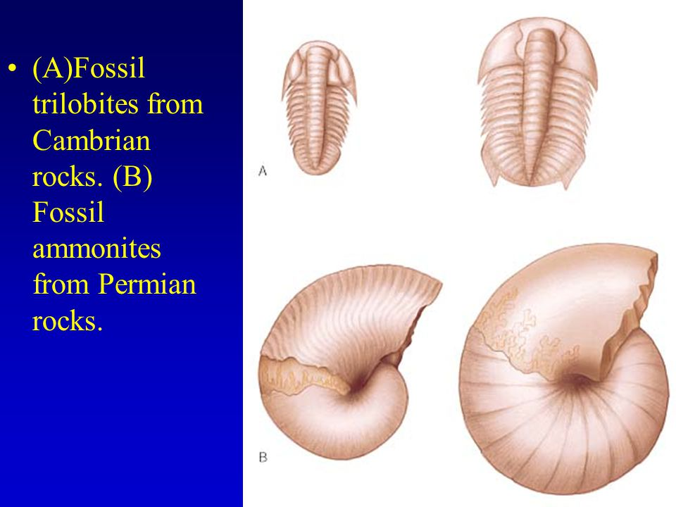 (A)Fossil trilobites from Cambrian rocks. (B) Fossil ammonites from Permian rocks.