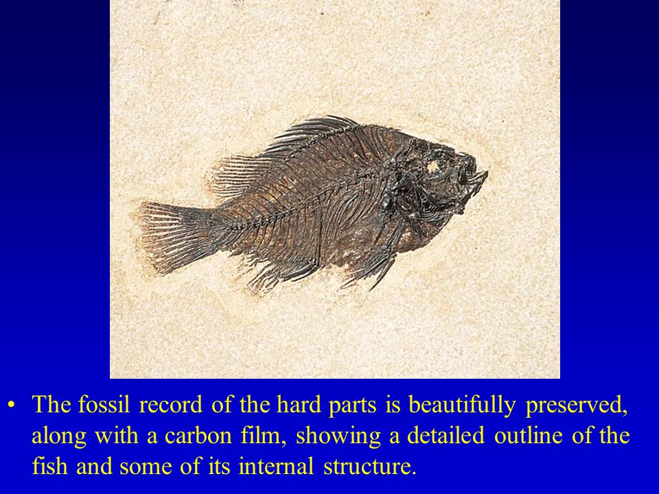 The fossil record of the hard parts is beautifully preserved, along with a carbon film, showing a detailed outline of the fish and some of its interna