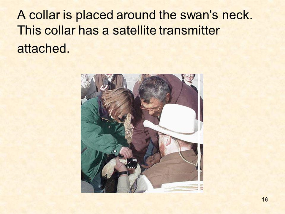 16 A collar is placed around the swan's neck. This collar has a satellite transmitter attached.