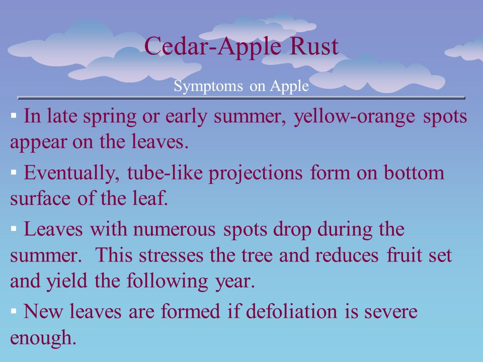Cedar-Apple Rust Symptoms on Apple In late spring or early summer, yellow-orange spots appear on the leaves. Eventually, tube-like projections form on
