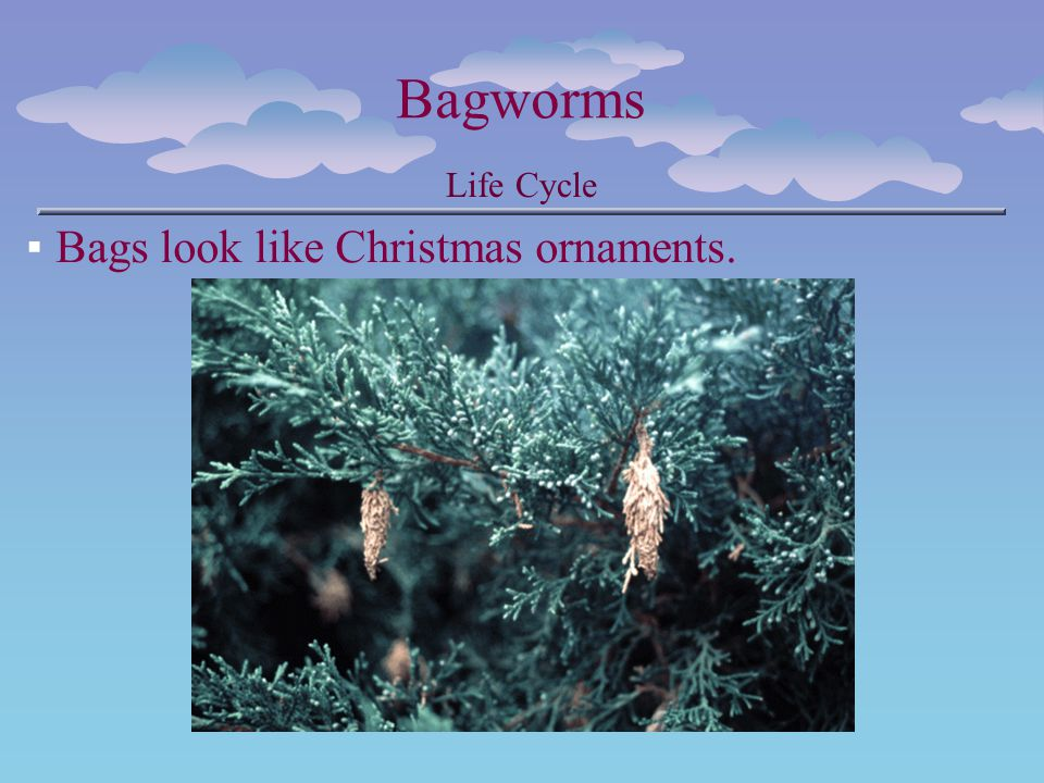 Bagworms Life Cycle Bags look like Christmas ornaments.