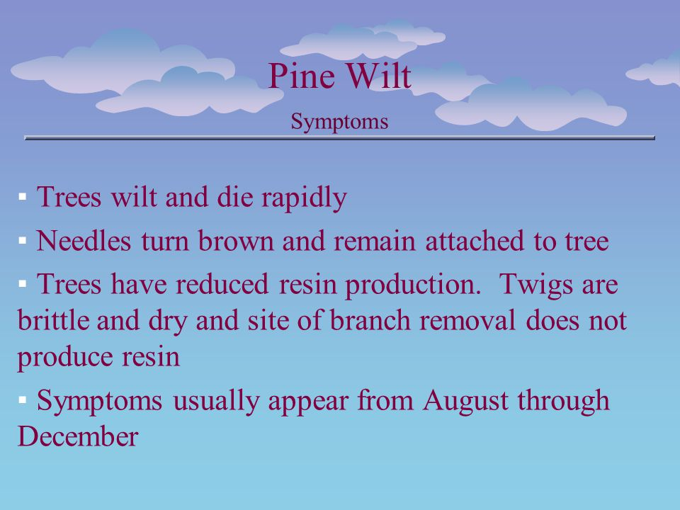 Pine Wilt Symptoms Trees wilt and die rapidly Needles turn brown and remain attached to tree Trees have reduced resin production. Twigs are brittle an