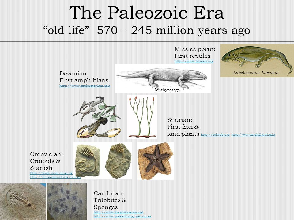 The Paleozoic Era old life 570 – 245 million years ago Cambrian: Trilobites & Sponges http://www.fossilmuseum.net http://www.palaentology.geo.uu.se Ordovician: Crinoids & Starfish http://www.oum.ox.ac.uk http://museumvictoria.com.au Silurian: First fish & land plants http://tolweb.org http://ww.cavehill.uwi.edu http://tolweb.orghttp://ww.cavehill.uwi.edu Devonian: First amphibians http://www.exploratorium.edu Mississippian: First reptiles http://www.bluesci.org Labidosaurus hamatus Ichthyostega