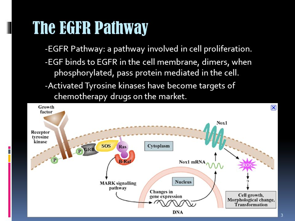 The EGFR Pathway -EGFR Pathway: a pathway involved in cell proliferation.