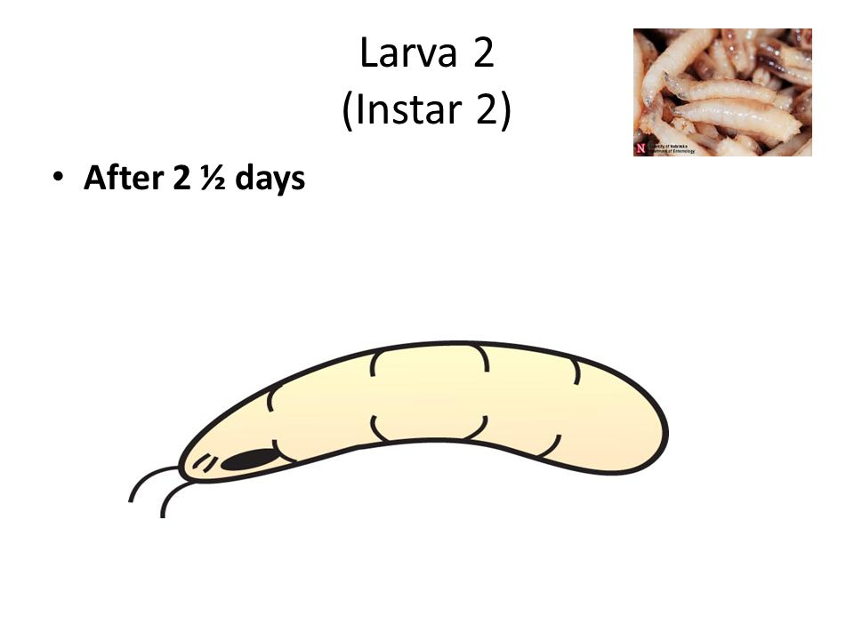 Larva Stage 3 (Instar 3) After 4-5 days